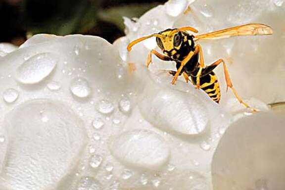A yellow jacket wasp crawls on a rose covered with water drops in the rose garden at Woodland Park in Kalispell, Mont., Tuesday, Sept. 17, 2002, after a morning rain shower. (AP Photo/Daily Inter Lake, Robin Loznak)