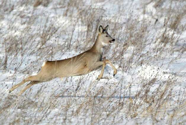 A deer runs in a snow covered field near the village of Khatenchitsy, 65 kilometers (40 miles) northwest of Minsk, Belarus, Sunday, Feb. 12, 2012. A cold snap in Europe, which began in late January, has killed hundreds of people - most of them homeless. (AP Photo/Sergei Grits) Photo: Sergei Grits / AP