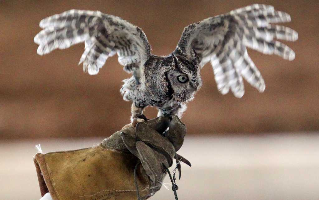 Birds Of Prey Show Swoops Into Rodeo San Antonio Express News
