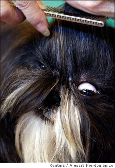 A Shih Tzu has its hair combed before going into the parade ring at the Crufts dog show in Birmingha