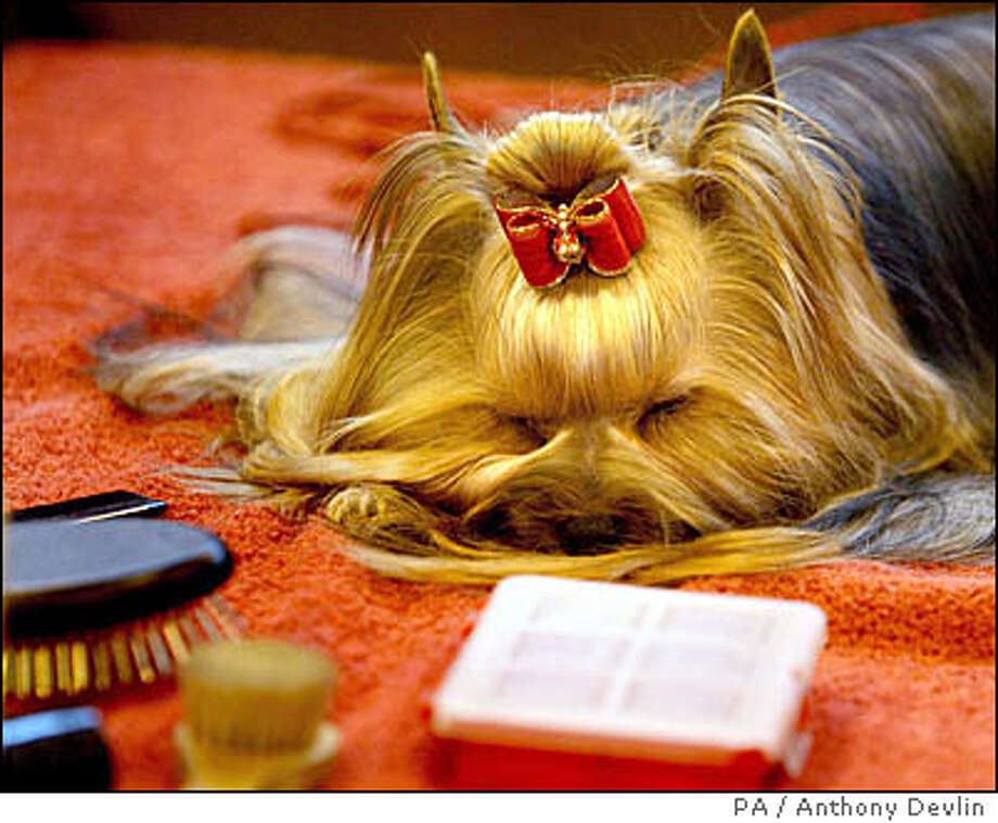 Luci, a one-year-old Yorkshire Terrier, takes a rest after being groomed and made ready for an appearance at Crufts at the NEC in Birmingham, central England Sunday March 11, 2007. Now in it's 104th year, Crufts was founded in 1891 and is acknowledged as the most prestigious and largest dog show in the world. This year sees 24,964 entries from 22,320 individual dogs, spanning 182 breeds. (AP Photo/PA, Anthony Devlin) ** UNITED KINGDOM OUT NO SALES NO ARCHIVE ** Photo: Anthony Devlin