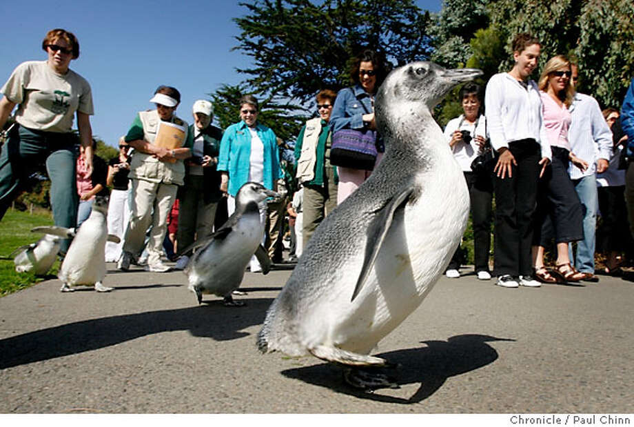 """A crowd gathers to watch the annual """"March of the Penguins"""" at the San Francisco Zoo in San Francisco, Calif. on Thursday, August 31, 2006. Six penguin chicks hatched in late Spring were taken to the zoo's Avian Conservation Center where they were hand-reared by zookeepers. After learning how to swim and east fish fed to them by hand the six adolescent penguins waddled back to Penguin Island where they rejoined the rest of the penguin colony.  PAUL CHINN/The Chronicle Photo: PAUL CHINN"""
