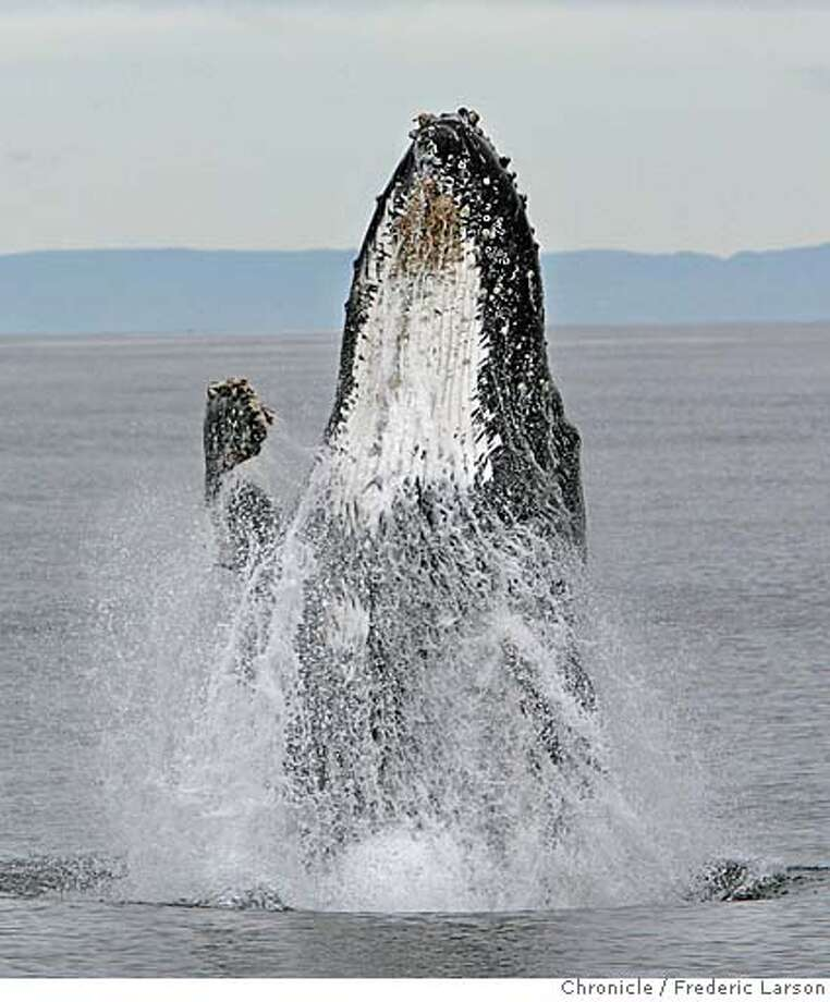 A humpback whale breaches out the ocean not far from the Farallon Islands. The Gulf of the Farallones National Marine Sanctuary protects 948 square nautical miles off the California coast, just a few miles west of San Francisco. The Sanctuary is a feeding ground for endangered blue and humpback whales and a breeding area for one-fifth of California's harbor seals. The Farallon Islands are home to the largest concentration of white sharks and breeding seabirds within the contiguous United States. 10/3/06  {Frederic Larson} Photo: Frederic Larson