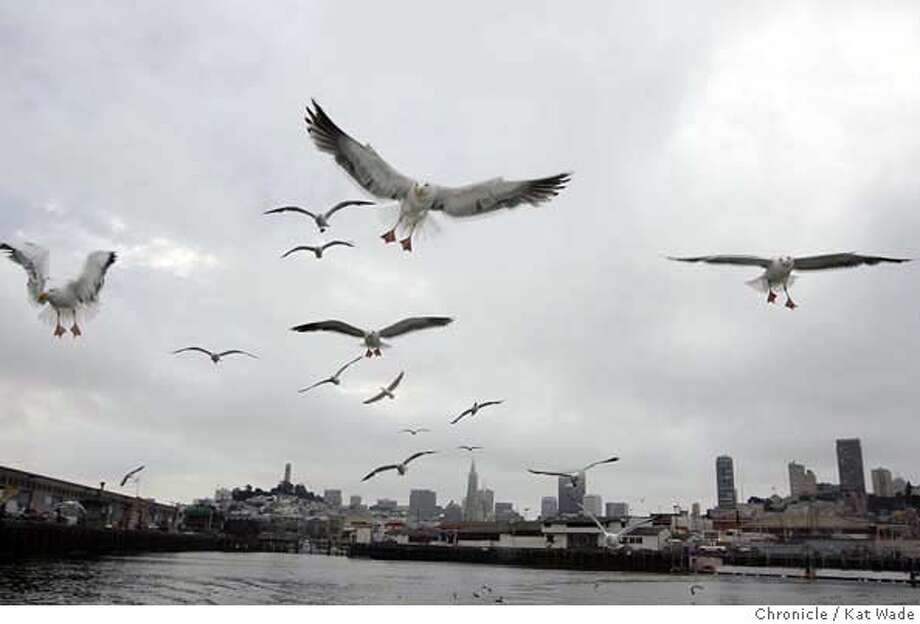 062806_WADEgull_001_KW_.jpg Western Gulls soar above the bay beneath a cloudy San Francisco skyline in San Francisco Bay on June 28, 2006. Kat Wade/The Chronicle  ** Mandatory Credit for San Francisco Chronicle and photographer, Kat Wade, Mags out Photo: Kat Wade