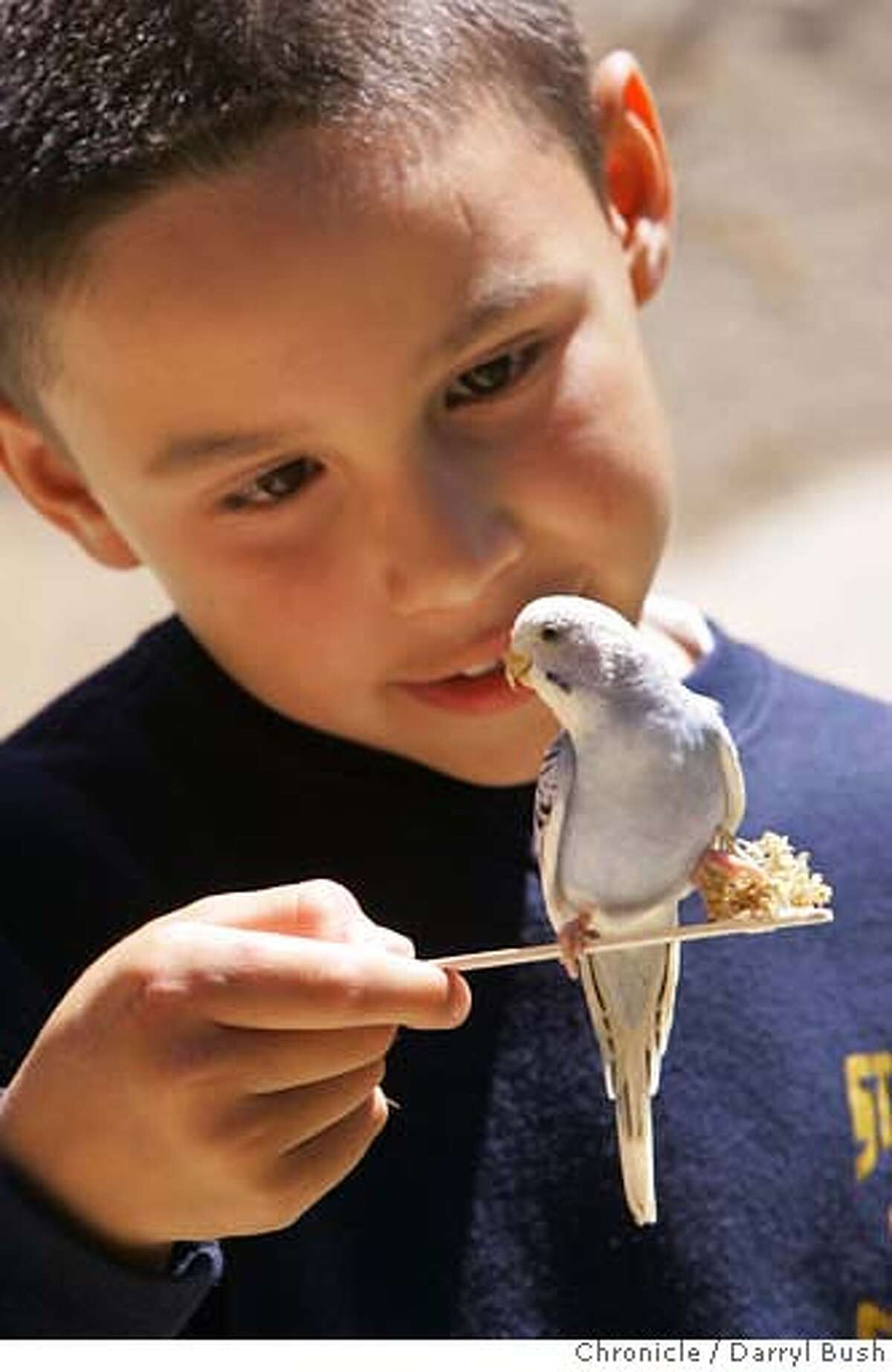 """binnowee_032_db.JPG Zoo visitor, Vincent Lopez, 9, of San Francisco feeds an Australian bird called a """"Budgie,"""" otherwise known as a grass parakeet, with a stick holding millet at the end, at Binnowee Landing, a walk-in aviary at San Francisco Zoo in San Francisco, CA on Thursday, June 15, 2006. shot: 6/15/06 Darryl Bush / The Chronicle **Vincent Lopez (cq)"""
