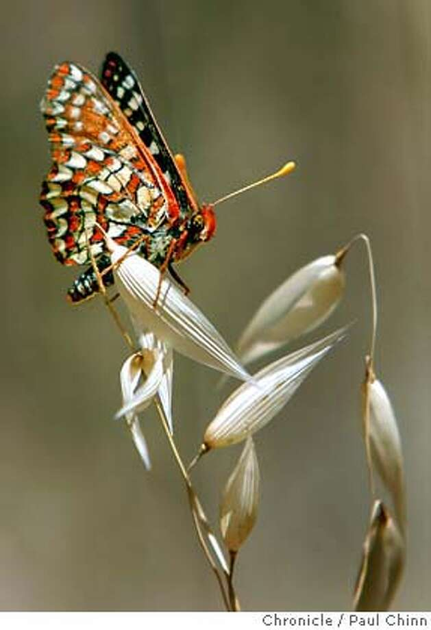 A Variable Checkerspot lands on vegetation during the annual butterfly count by the North American Butterfly Association in Mount Diablo State Park in Clayton, Calif. on Tuesday, June 12, 2007.  PAUL CHINN/The Chronicle Photo: PAUL CHINN
