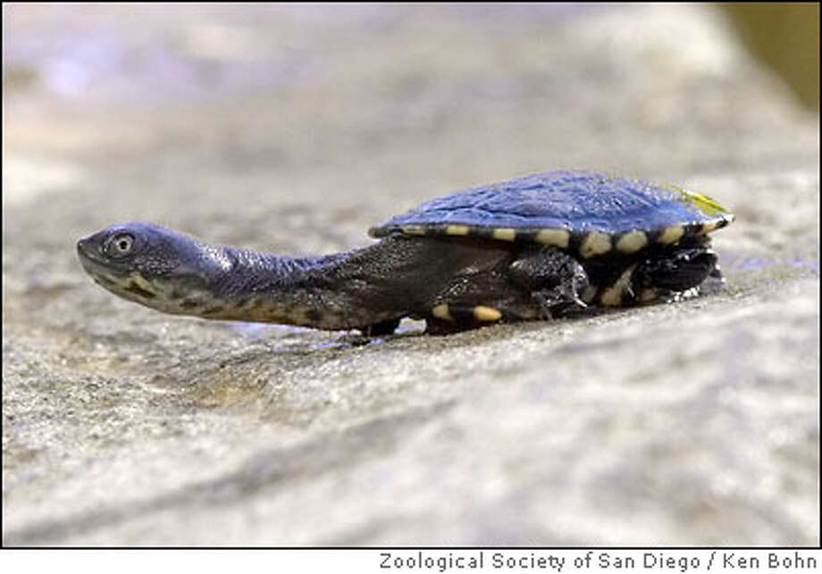 PHOTO: Squishy the turtle was allegedly stolen from Houston Zoo. He is a rare snake-necked turtle.