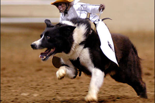 Whiplash, a 17-year-old Capuchin monkey, rides a border collie and herds sheep at the Old Fort Days Rodeo on Saturday, June 5, 2004, in Fort Smith, Ark. (AP Photo/Times Record / Joel Rafkin