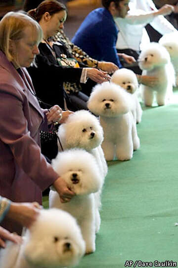A line up of Brichon Frise dogs await their turn in the parade ring at Crufts Dog Show, Thursday Mar