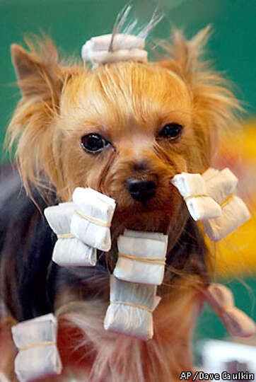 The Yorkshire Terrier named Joy, is being spruced up before her turn in the parade ring at Crufts Do