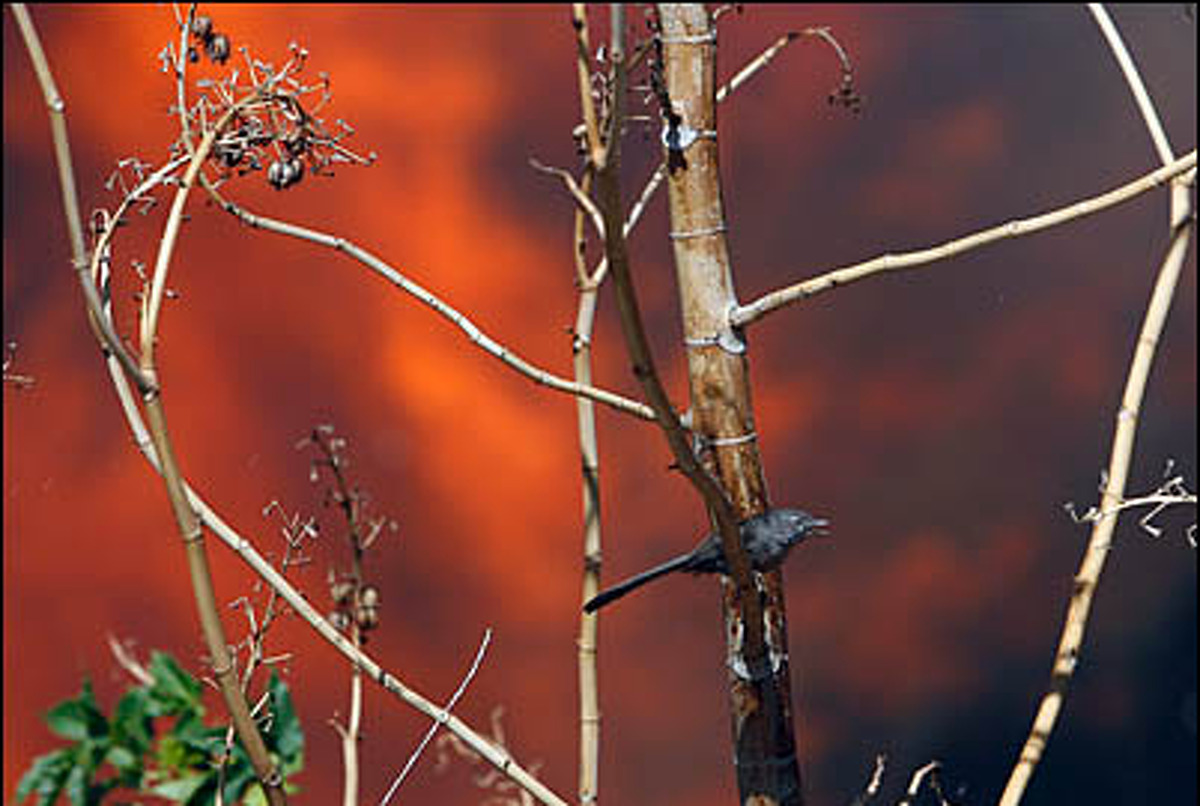 A bird rests on a tree during a wind-driven wildfire in Malibu, California, October 22, 2007.Birds fleeing the North Bay fires that started on Oct. 8, 2017 have come to roost in surrounding cities, experts say.