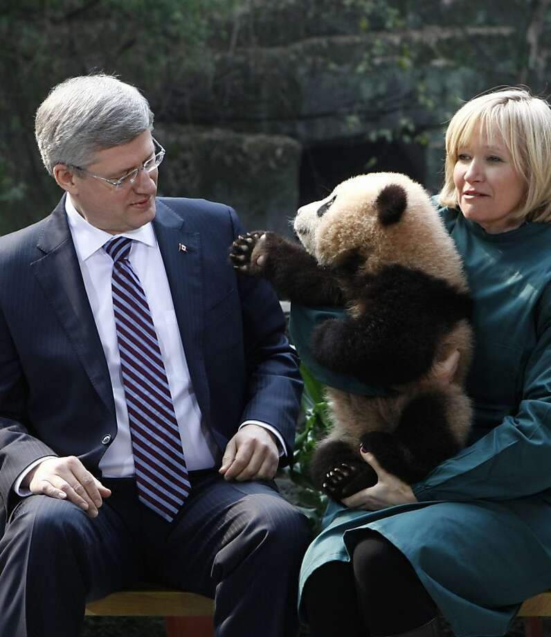 Just another Western couple trying to adopt a Chinese baby: Da-da! A panda cub held by Laureen Harper reaches out to her husband, Canadian Prime Minister Stephen Harper, in Chongqing, China. China is loaning two giant pandas to the Toronto Zoo for the next 10 years. Photo: Adrian Wyld, Associated Press