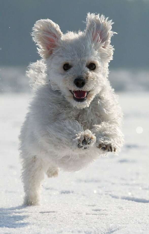 It's no wonder that Lucky loves the snow on Germany's frozen Lake Helenesee, given that he could be mistaken for bouncing snowball. Photo: Patrick Pleul, AFP/Getty Images