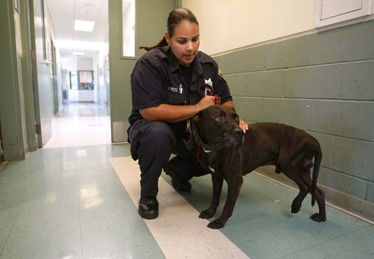 knapp19_023_mac.jpg Animal Control Officer NIcole Frede, holds a Pit Bull believe to be around 3 years old that was taken into custody from his owner after it was suspected the dog was being used for fighting, the dog has a broken left rear leg. Michael Vick indictment on charges of running a dog fight operation. The Oakland Animal Shelter has a few dogs in their kennels after they were taken into protective custody, suspected of being involved in dog fights by their owners. Photographed in, Oakland, Ca, on 7/18/07. Photo by: Michael Macor/ The Chronicle