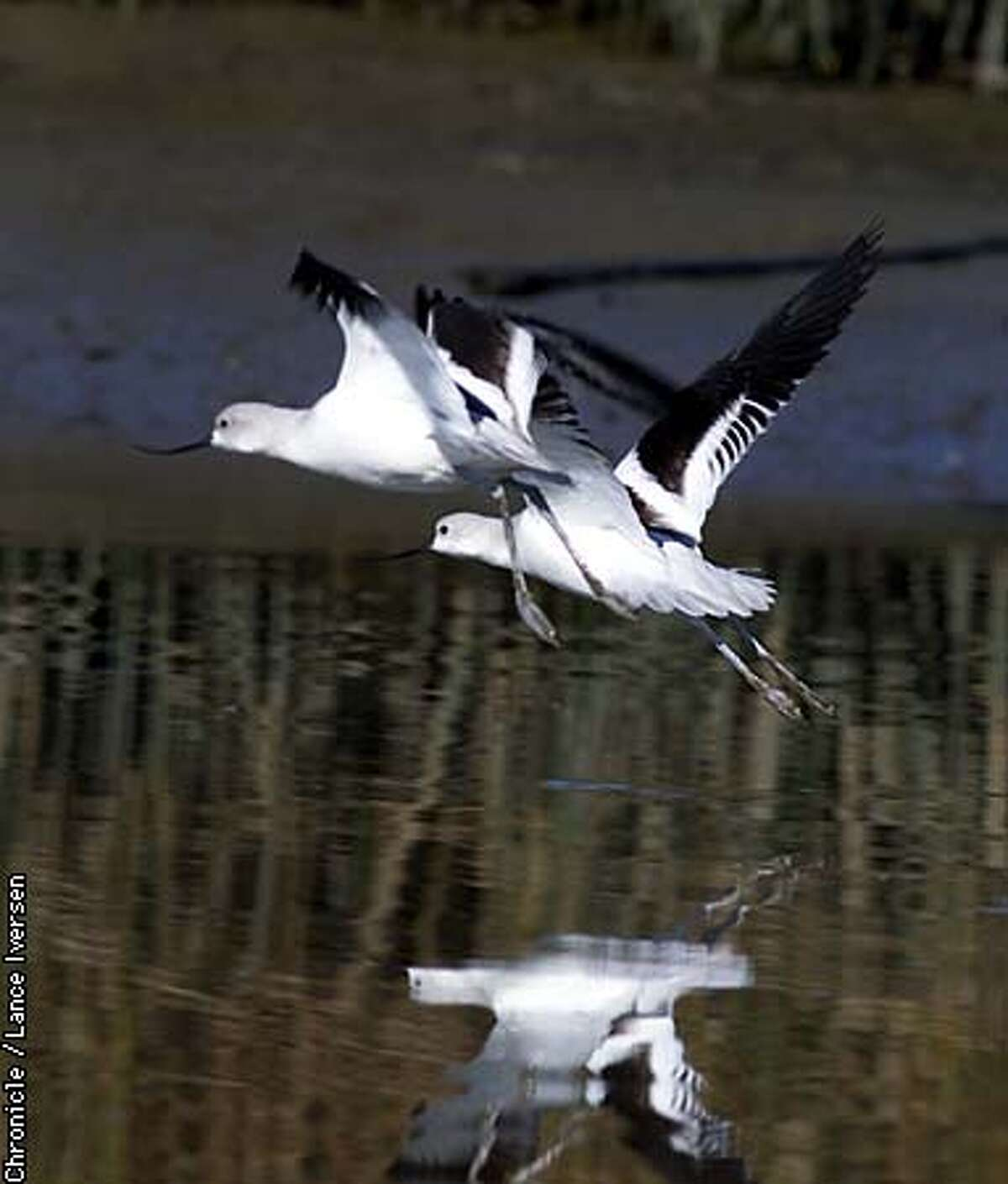 Thousands of birds, like these American avocet, make the wetlands upstream from Mare Island their winter home.