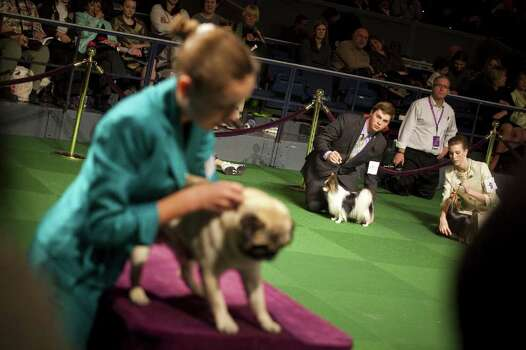 NEW YORK - FEBRUARY 13:   Juniors compete in the Junior Showmanship Preliminaries at Westminster Kennel Club Dog Show on February 13, 2012 in New York City.  The Westminster Kennel Club Dog Show first held in 1877, is the second-longest continuously held sporting event in the U.S., second only to the Kentucky Derby. Photo: Michael Nagle, Getty Images / 2012 Getty Images