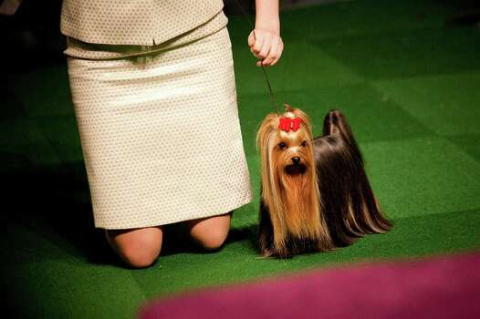 NEW YORK - FEBRUARY 13:   Emma Echols competes with her Yorkshire Terrier 'Tucker' in the Junior Showmanship Preliminaries at Westminster Kennel Club Dog Show on February 13, 2012 in New York City.  The Westminster Kennel Club Dog Show first held in 1877, is the second-longest continuously held sporting event in the U.S., second only to the Kentucky Derby. Photo: Michael Nagle, Getty Images / 2012 Getty Images