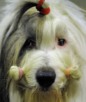 A Bearded Collie in the staging area during the 136th Westminster Kennel Club  Annual Dog Show held at Madison Square Garden. February 13, 2012.  AFP PHOTO / TIMOTHY A. CLARY Photo: TIMOTHY A. CLARY, AFP/Getty Images / AFP