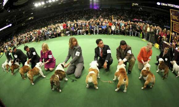 Bulldogs in the competiton ring during the 136th Westminster Kennel Club  Annual Dog Show held at Madison Square Garden. The English bulldog, with its squat, face, enormous under bite and bulging eyes -- has surged in popularity in recent years. But the very traits that make them lovable are causing the dogs to suffer chronic health problems. The British Kennel Club has revised its standards for the breed. But American enthusiasts, at least for now, have no such plans.  February 13, 2012.  AFP PHOTO / TIMOTHY A. CLARY Photo: TIMOTHY A. CLARY, AFP/Getty Images / AFP