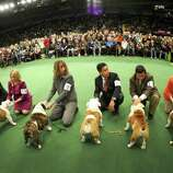 Bulldogs in the competiton ring during the 136th Westminster Kennel Club  Annual Dog Show held at Madison Square Garden. The English bulldog, with its squat, face, enormous under bite and bulging eyes -- has surged in popularity in recent years. But the very traits that make them lovable are causing the dogs to suffer chronic health problems. The British Kennel Club has revised its standards for the breed. But American enthusiasts, at least for now, have no such plans.  February 13, 2012.  AFP PHOTO / TIMOTHY A. CLARY