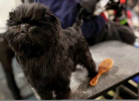 Banana Joe, an affenpinscher, owned by Zoila Truesdale and Mieke Cooymans, waits in the grooming table at the 136th annual Westminster Kennel Club dog show, Monday, Feb. 13, 2012, in New York. Photo: Craig Ruttle, AP / FR61802 AP