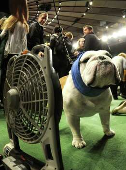 A Bulldog cools off  in the ring during the 136th Westminster Kennel Club  Annual Dog Show held at Madison Square Garden. February 13, 2012. The English bulldog, with its squat, face, enormous under bite and bulging eyes -- has surged in popularity in recent years. But the very traits that make them lovable are causing the dogs to suffer chronic health problems. The British Kennel Club has revised its standards for the breed. But American enthusiasts, at least for now, have no such plans.   AFP PHOTO / TIMOTHY A. CLARY Photo: TIMOTHY A. CLARY, AFP/Getty Images / AFP