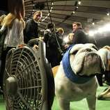 A Bulldog cools off  in the ring during the 136th Westminster Kennel Club  Annual Dog Show held at Madison Square Garden. February 13, 2012. The English bulldog, with its squat, face, enormous under bite and bulging eyes -- has surged in popularity in recent years. But the very traits that make them lovable are causing the dogs to suffer chronic health problems. The British Kennel Club has revised its standards for the breed. But American enthusiasts, at least for now, have no such plans.   AFP PHOTO / TIMOTHY A. CLARY