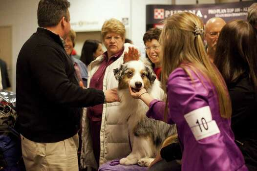 NEW YORK - FEBRUARY 13:   Grand Champion Oakhurst Crusin' in Chrome, an Australian Shepard, is greeted backstage at the Westminster Kennel Club Dog Show after winning best of opposite sex on February 13, 2012 in New York City.  The Westminster Kennel Club Dog Show first held in 1877, is the second-longest continuously held sporting event in the U.S., second only to the Kentucky Derby. Photo: Michael Nagle, Getty Images / 2012 Getty Images