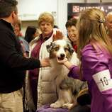 NEW YORK - FEBRUARY 13:   Grand Champion Oakhurst Crusin' in Chrome, an Australian Shepard, is greeted backstage at the Westminster Kennel Club Dog Show after winning best of opposite sex on February 13, 2012 in New York City.  The Westminster Kennel Club Dog Show first held in 1877, is the second-longest continuously held sporting event in the U.S., second only to the Kentucky Derby.