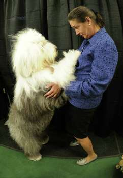 Handler Chris Pesche and Nikki the Old English Sheepdog during the 136th Westminster Kennel Club  Annual Dog Show held at Madison Square Garden. February 13, 2012.  AFP PHOTO / TIMOTHY A. CLARY Photo: TIMOTHY A. CLARY, AFP/Getty Images / AFP