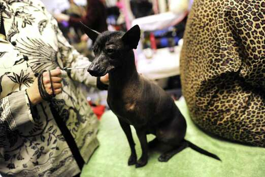 A Xoloitzcuintli  during the 136th Westminster Kennel Club  Annual Dog Show held at Madison Square Garden. February 13, 2012.  AFP PHOTO / TIMOTHY A. CLARY Photo: TIMOTHY A. CLARY, AFP/Getty Images / AFP