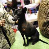 A Xoloitzcuintli  during the 136th Westminster Kennel Club  Annual Dog Show held at Madison Square Garden. February 13, 2012.  AFP PHOTO / TIMOTHY A. CLARY
