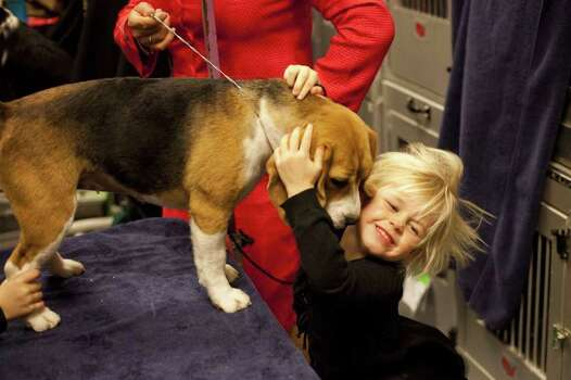 NEW YORK - FEBRUARY 13:   Jazzy, a Beagle from Texas, is hugged by her groomer's niece, Kate Eichelberger, backstage at the Westminster Kennel Club Dog Show on February 13, 2012 in New York City.  The Westminster Kennel Club Dog Show first held in 1877, is the second-longest continuously held sporting event in the U.S., second only to the Kentucky Derby. Photo: Michael Nagle, Getty Images / 2012 Getty Images