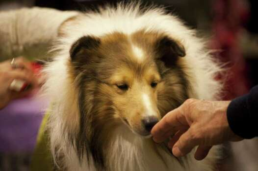 NEW YORK - FEBRUARY 13:   Maddie, a Shetland Sheepdog from Louisiana, smells a man's fingers backstage at the Westminster Kennel Club Dog Show on February 13, 2012 in New York City.  The Westminster Kennel Club Dog Show first held in 1877, is the second-longest continuously held sporting event in the U.S., second only to the Kentucky Derby. Photo: Michael Nagle, Getty Images / 2012 Getty Images