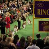 NEW YORK - FEBRUARY 13:   Dog handlers compete with their Shetland Sheepdogs in Ring 5 at the Westminster Kennel Club Dog Show on February 13, 2012 in New York City.  The Westminster Kennel Club Dog Show first held in 1877, is the second-longest continuously held sporting event in the U.S., second only to the Kentucky Derby.