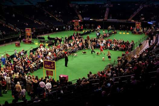 NEW YORK - FEBRUARY 13:   Dog handlers compete with their Shetland Sheepdogs in Ring 5 at the Westminster Kennel Club Dog Show on February 13, 2012 in New York City.  The Westminster Kennel Club Dog Show first held in 1877, is the second-longest continuously held sporting event in the U.S., second only to the Kentucky Derby. Photo: Michael Nagle, Getty Images / 2012 Getty Images