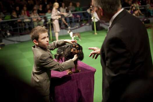 NEW YORK - FEBRUARY 13:   Andrew Mueller, 10, competes with his Cavalier King Charles Spaniel 'Stella' in the Junior Showmanship Preliminaries at Westminster Kennel Club Dog Show on February 13, 2012 in New York City.  The Westminster Kennel Club Dog Show first held in 1877, is the second-longest continuously held sporting event in the U.S., second only to the Kentucky Derby. Photo: Michael Nagle, Getty Images / 2012 Getty Images