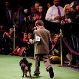NEW YORK - FEBRUARY 13:   Andrew Mueller, 10, competes with his Cavalier King Charles Spaniel 'Stella' in the Junior Showmanship Preliminaries at Westminster Kennel Club Dog Show on February 13, 2012 in New York City.  The Westminster Kennel Club Dog Show first held in 1877, is the second-longest continuously held sporting event in the U.S., second only to the Kentucky Derby.