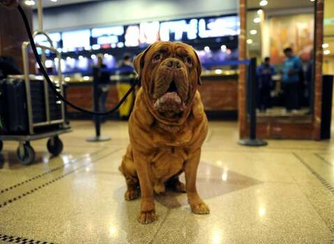 Moses, a Dogue de Bordeaux, waits to check into his room at the Hotel Pennsylvania February 12, 2012 in New York as dogs arrive in the city for the  Westminster Kennel Club 136th Annual Dog Show to be held at Madison Square Garden.  AFP PHOTO / TIMOTHY A. CLARY (Photo credit should read TIMOTHY A. CLARY/AFP/Getty Images) (AFP/Getty Images)