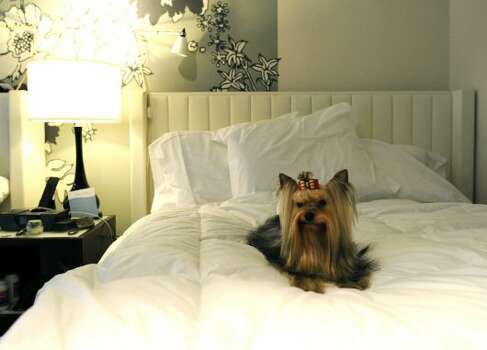 Stewart, the Yorkshire terrier in his room at the Affinia Manhattan Hotel February 12, 2012 in New York as dogs arrive in the city for the  Westminster Kennel Club 136th Annual Dog Show to be held at Madison Square Garden.  AFP PHOTO / TIMOTHY A. CLARY (Photo credit should read TIMOTHY A. CLARY/AFP/Getty Images) (AFP/Getty Images)