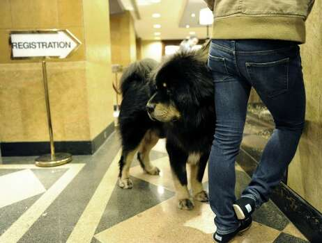 Major, a Tibetan Mastiff , waits to check in at the Affinia Manhattan Hotel February 12, 2012 in New York as dogs arrive in the city for the  Westminster Kennel Club 136th Annual Dog Show to be held at Madison Square Garden.  AFP PHOTO / TIMOTHY A. CLARY (Photo credit should read TIMOTHY A. CLARY/AFP/Getty Images) (AFP/Getty Images)