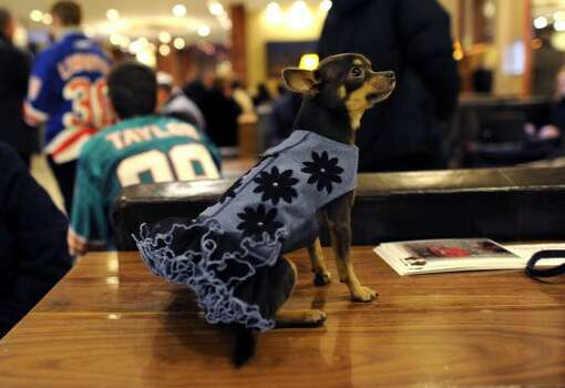 A Chihuahua waits to  get into his room February 12, 2012 in New York as dogs arrive in the city for the  Westminster Kennel Club 136th Annual Dog Show to be held at Madison Square Garden.  AFP PHOTO / TIMOTHY A. CLARY (Photo credit should read TIMOTHY A. CLARY/AFP/Getty Images) (AFP/Getty Images)