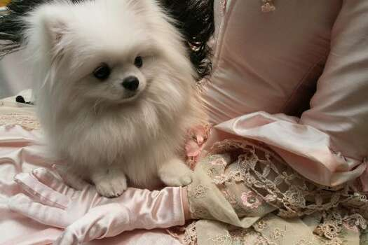 Sitting in the lap of her costumed owner Gena Oddo, of Carriere, Miss., Sophia Oddo, a white pomeranian, attends the 2012 Pre-Westminster Fashion Show Friday Feb. 10, 2012 in New York. (AP Photo/Tina Fineberg) (AP)