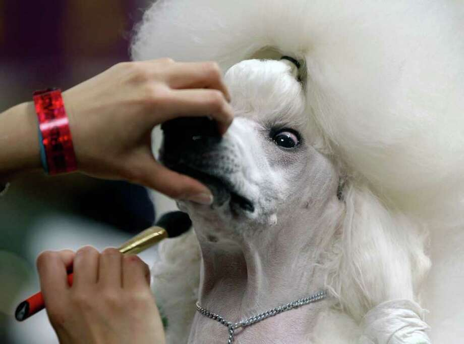 Sophie, a Standard Poodle, is groomed before her showing at the 136th annual Westminster Kennel Club dog show in New York. Photo: AP