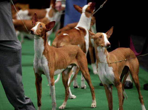 Ibizan Hounds are show...