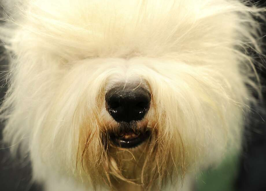 An Old English Sheepdog during the 136th Westminster Kennel Club  Annual Dog Show held at Madison Square Garden. February 13, 2012. Photo: Timothy A. Clary, AFP/Getty Images