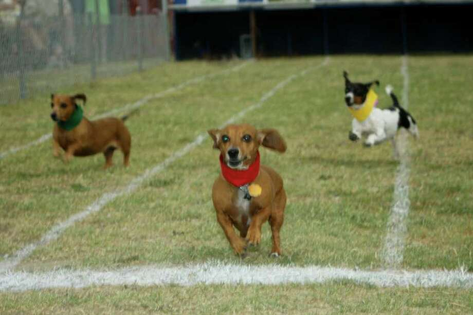 Dogs run during the Buda Lions Wiener Dog Races. (Michael Caristo Photography) Photo: Texas Hill Country