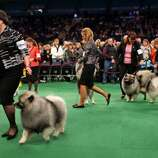 A group of keeshondens leave the ring after competing at the 136th annual Westminster Kennel Club dog show, Monday, Feb. 13, 2012, in New York. (AP Photo/Craig Ruttle) (AP)