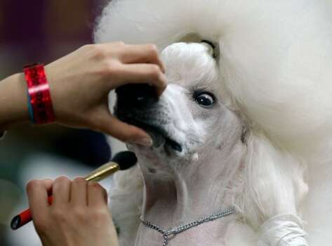 Sophie, a Standard Poodle, is groomed before her showing at the 136th annual Westminster Kennel Club dog show, Monday, Feb. 13, 2012, in New York. (AP Photo/Craig Ruttle) (AP)