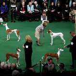 Ibizan Hounds are shown the ring at the 136th annual Westminster Kennel Club dog show, Monday, Feb. 13, 2012, in New York. (AP Photo/Craig Ruttle) (AP)